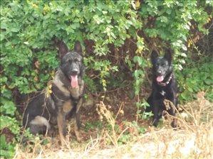 כלבים רועה גרמני