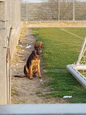 כלבים רועה גרמני חדרה והסביבה