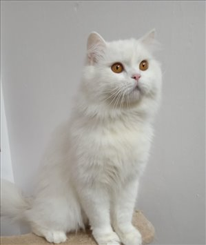 חתולים Scotish Fold טבריה והצפון