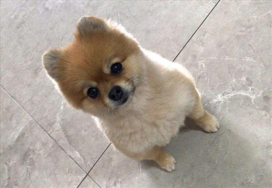 כלבת פומרניאן