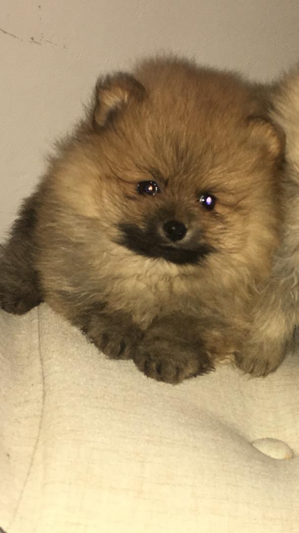 תמונה 1 ,כלבים פומרניאן   פומרניין למכירה באשקלון