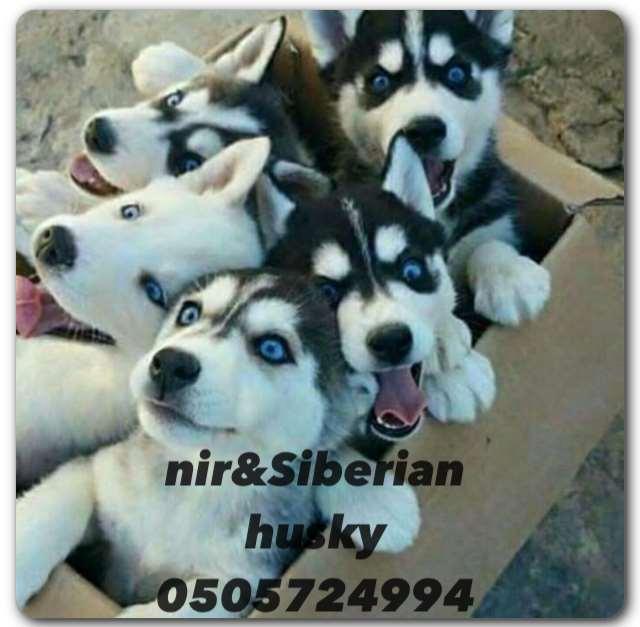 תמונה 2 ,כלבים האסקי סיביר   האסקי למכירה ברווחה
