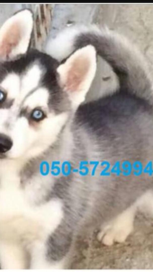 תמונה 3 ,כלבים האסקי סיביר   האסקי למכירה ברווחה