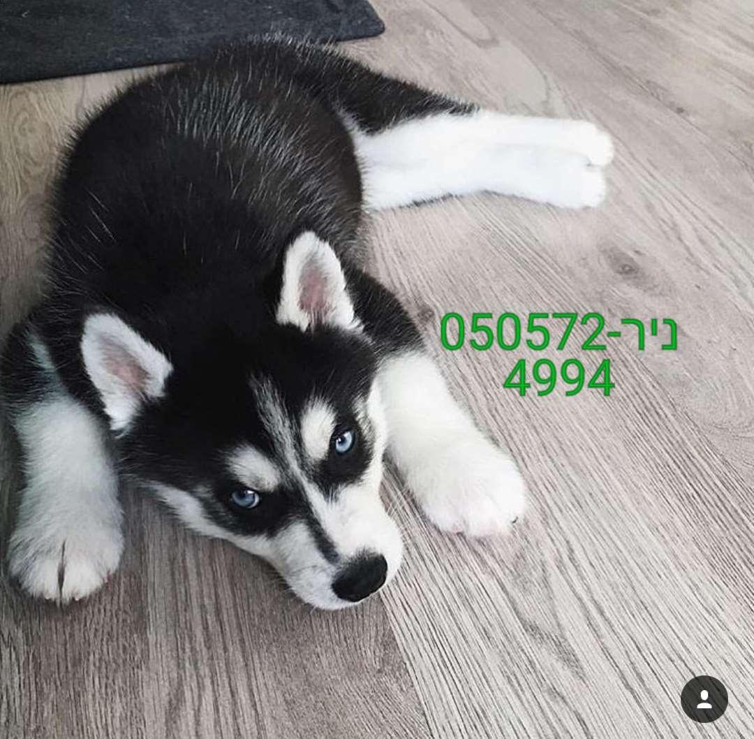 תמונה 4 ,כלבים האסקי סיביר   האסקי למכירה ברווחה