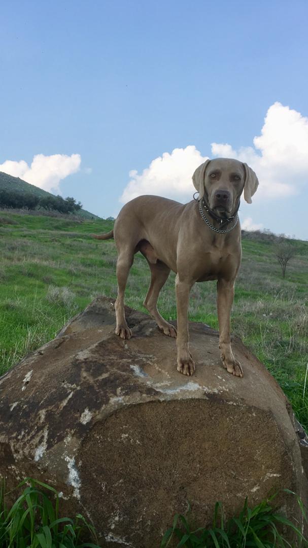 כלבים - ויימרנר