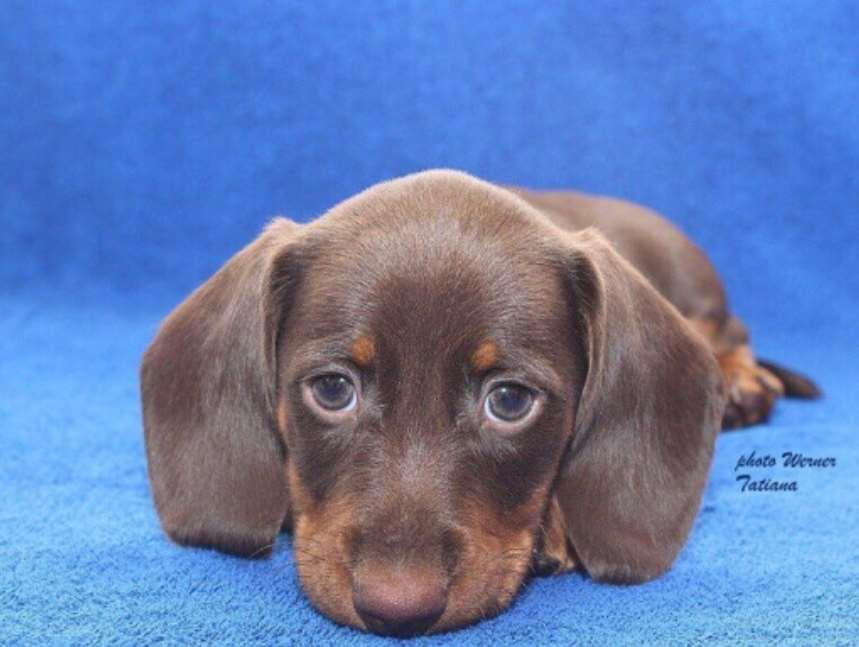 צעיר דקל (תחש) | כלבים | חיות מחמד הומלס VR-75