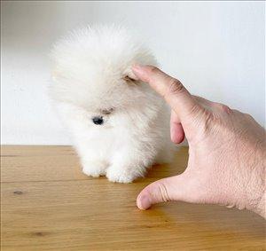 כלבים פומרניאן אילת