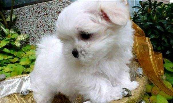 תמונה 3 ,כלבים מלטז   צחי למכירה בקרית ביאליק