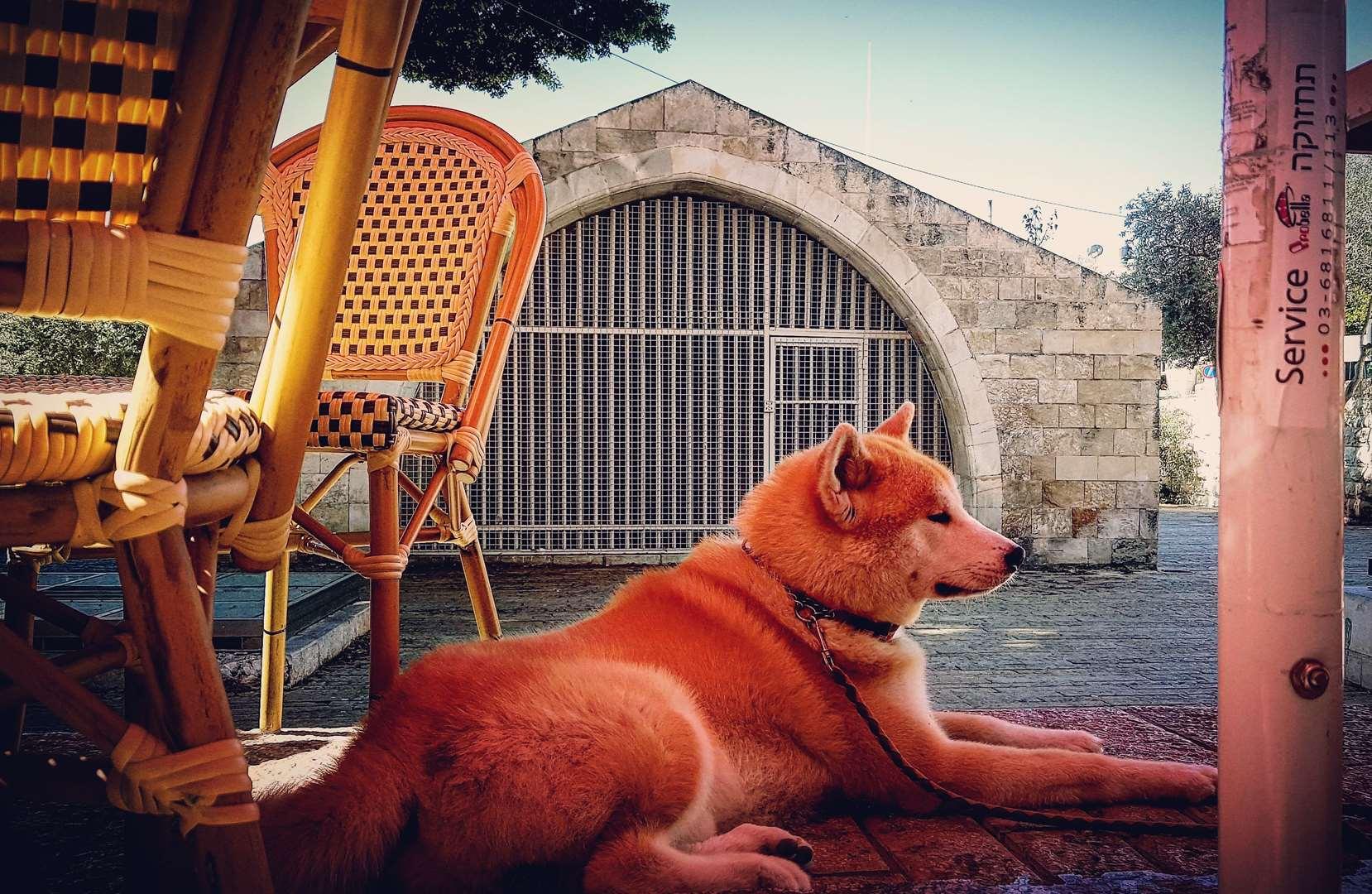 צעיר אקיטה | כלבים לשידוך | חיות מחמד הומלס VC-27