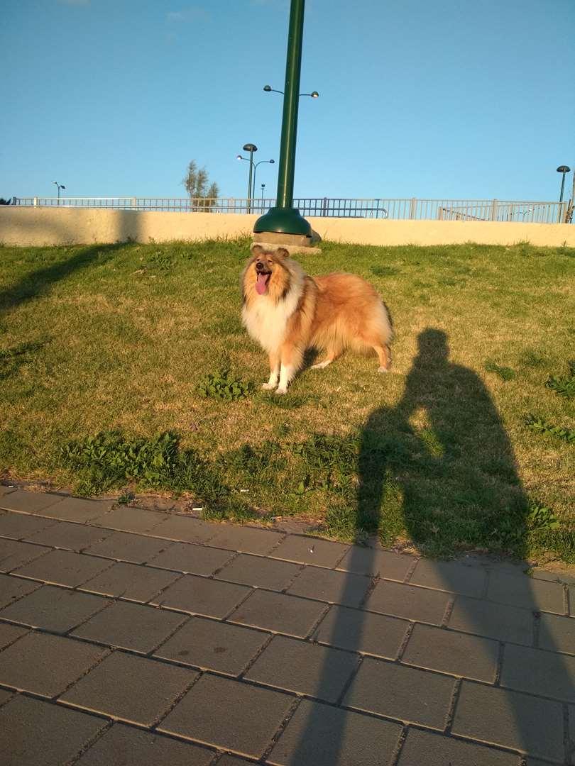 כלבים - קולי