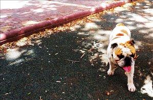 כלבים בולדוג אנגלי מודיעין והסביבה