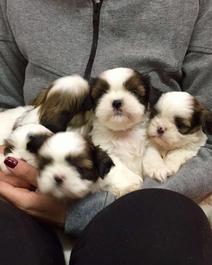 כלבים -
