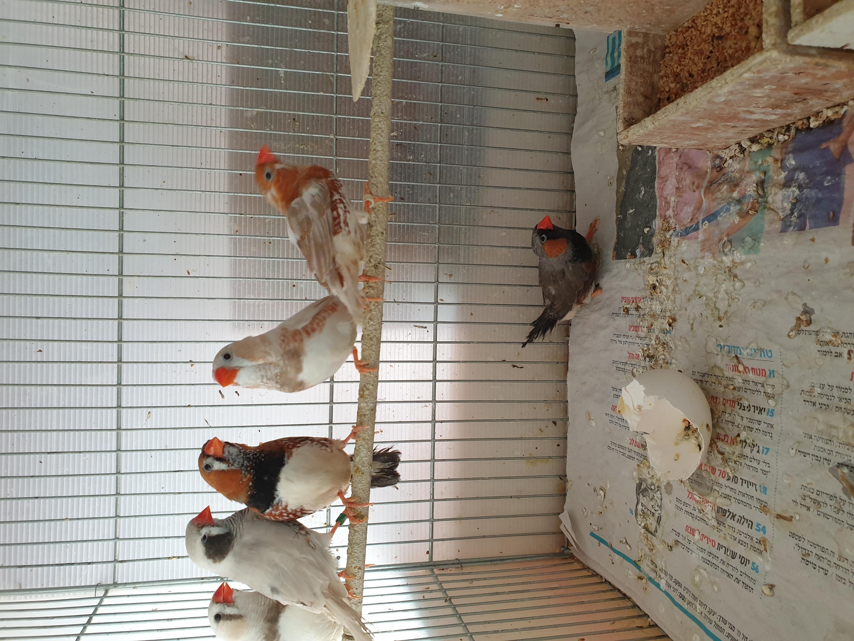 תמונה 5 ,תוכים ובעלי כנף פינקים   פינקים למכירה באור יהודה