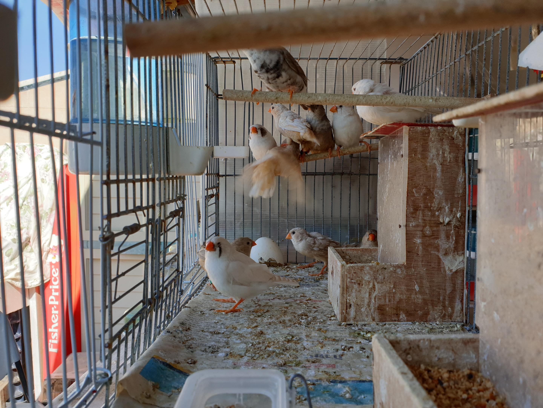 תמונה 7 ,תוכים ובעלי כנף פינקים   פינקים למכירה באור יהודה