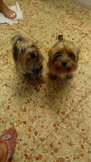 כלבים יורקשייר טרייר מודיעין והסביבה