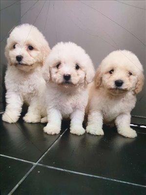 כלבים בישון פריזה
