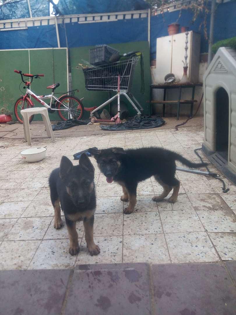 כלבים רועה גרמני עפולה והעמקים