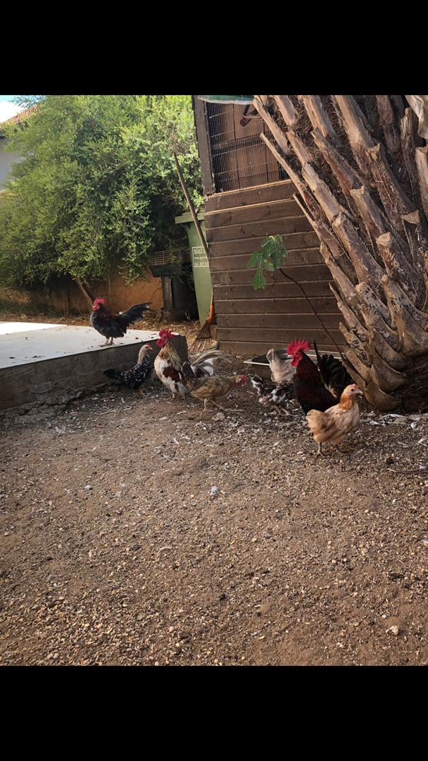 תמונה 3 ,תוכים ובעלי כנף אחר   תרנגולות למכירה ברמת גן