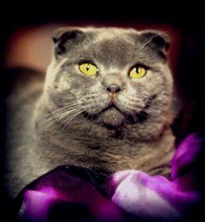 חתולים Scotish Fold אשדוד והסביבה