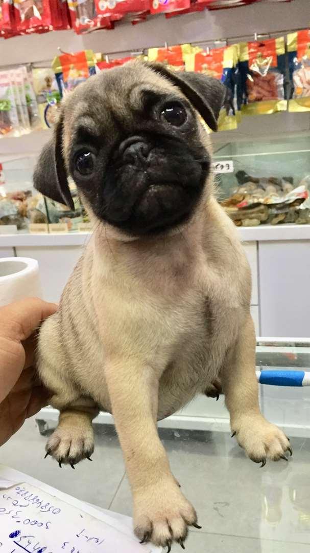 כלבים - פאג