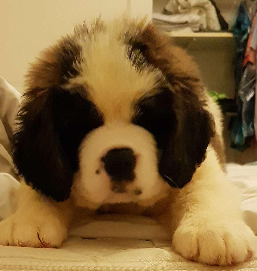 כלבים - סן ברנרד