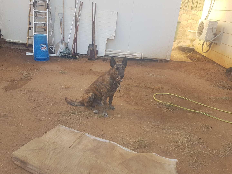 כלבים - רועה גרמני