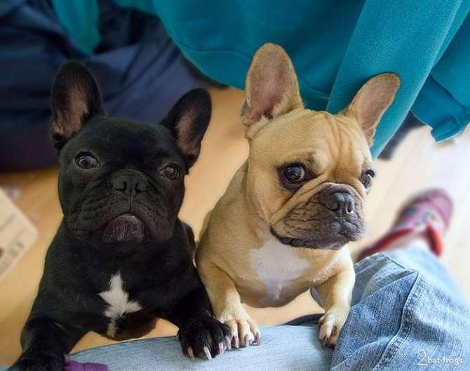 כלבים - בולדוג צרפתי