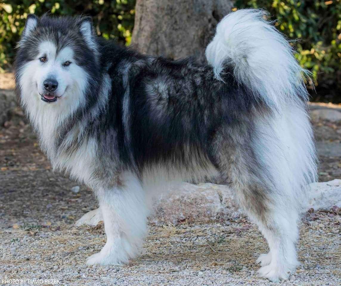כלבים - אלסקן מלמוט