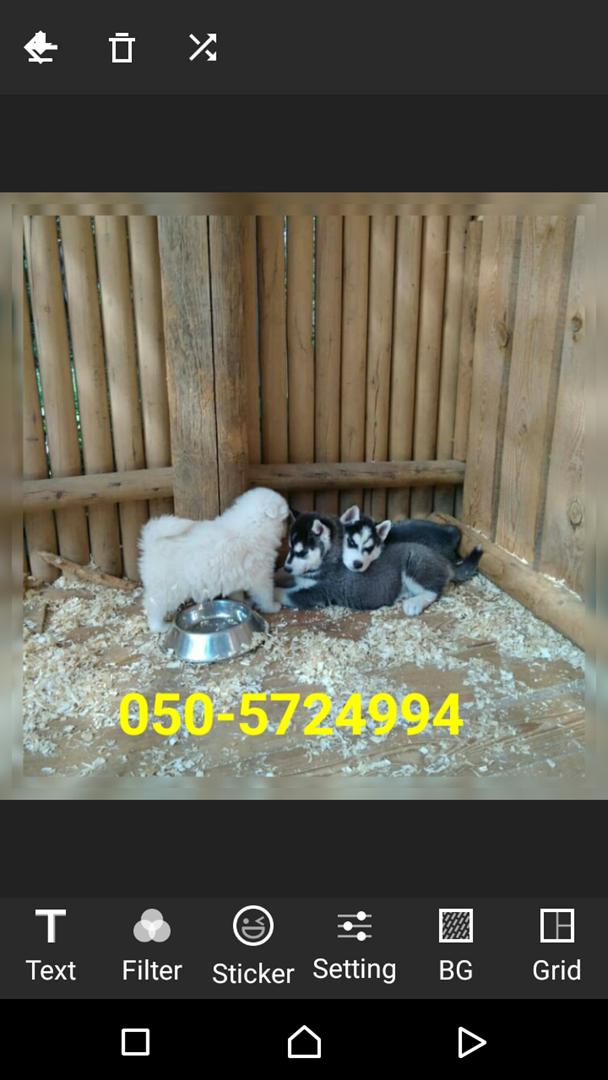 תמונה 3 ,כלבים האסקי סיביר   האסקי למכירה בקרית גת