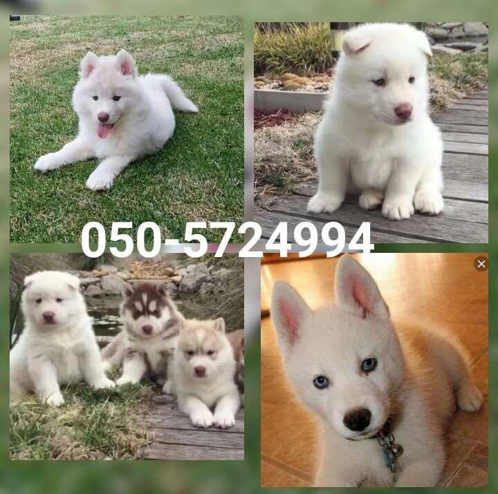 תמונה 1 ,כלבים האסקי סיביר   האסקי למכירה ברווחה