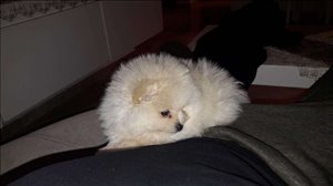 כלבים פומרניאן טבריה והצפון