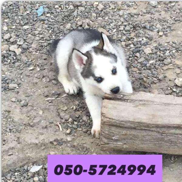 תמונה 4 ,כלבים האסקי סיביר   האסקי למכירה בקרית גת