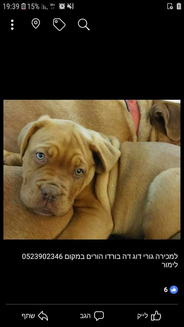 כלבים - דוג דה בורדו