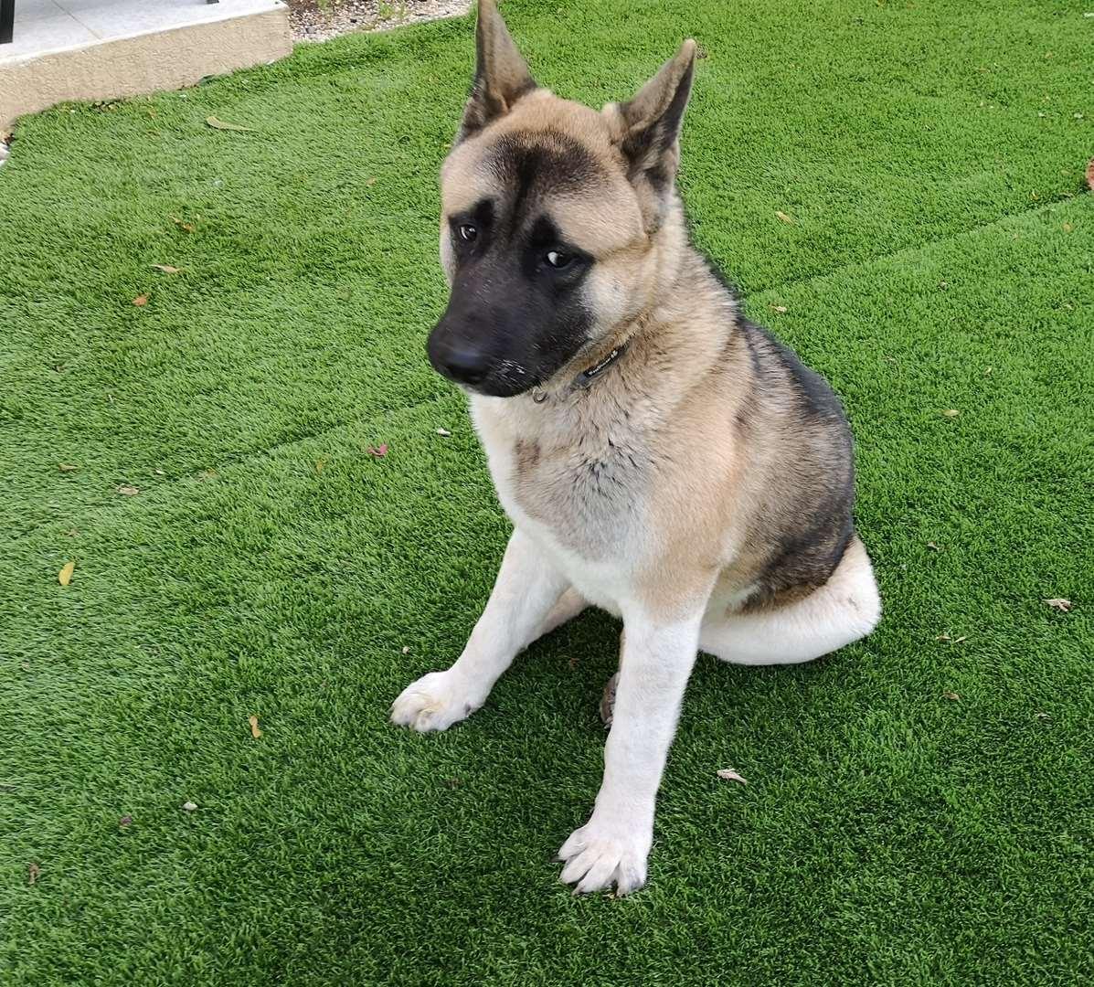 כלבים - אקיטה