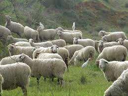 למעלה כבשים | חיות משק למכירה | חיות מחמד הומלס DH-73