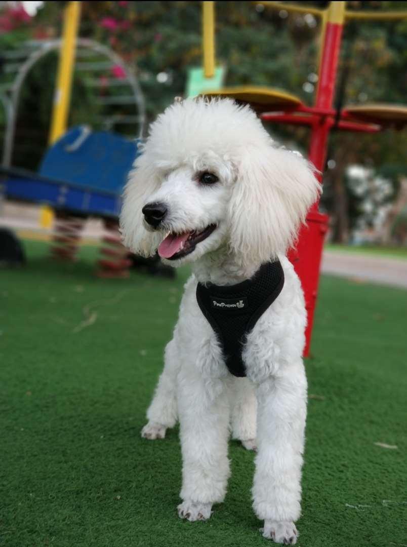 מעולה פודל | כלבים | חיות מחמד הומלס GE-41