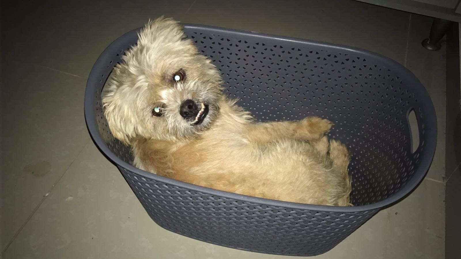 כלבים - טוי טרייר
