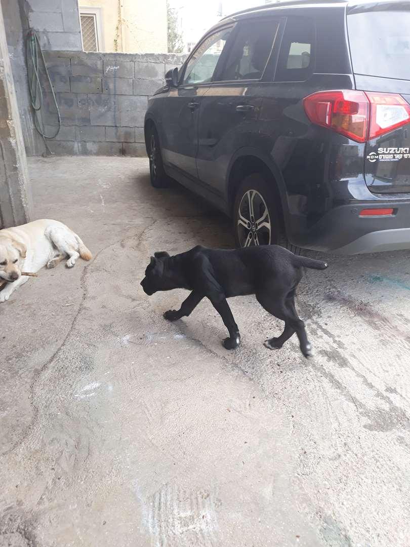 כלבים - קאנה קורסו