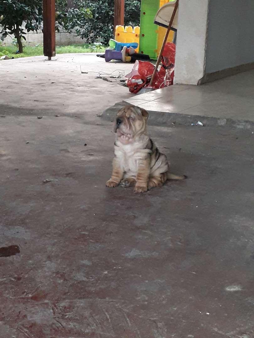 כלבים - שאר פיי