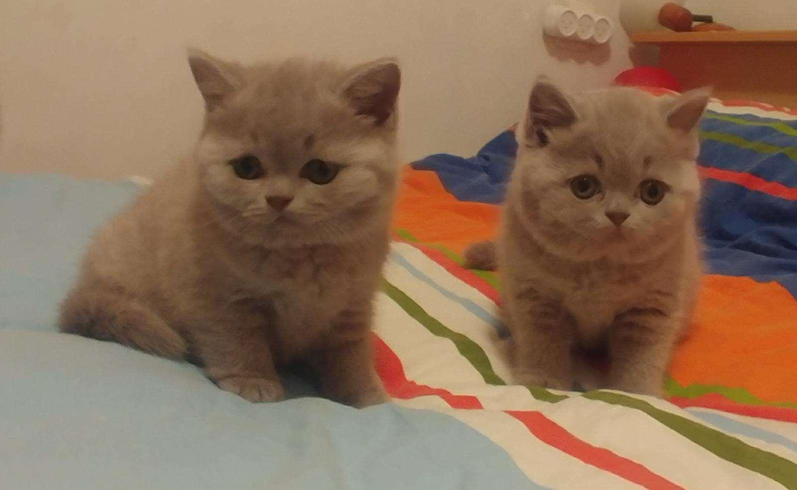 מתוחכם בריטי קצר שיער   חתולים   חיות מחמד הומלס HJ-26