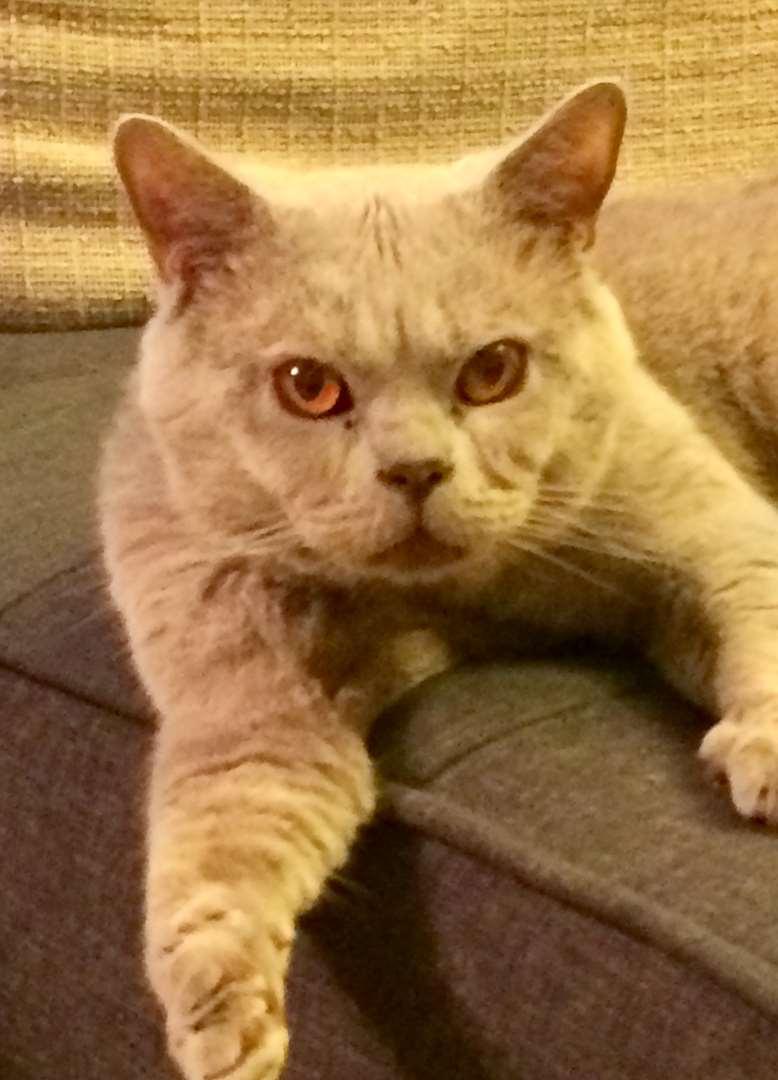 חתולים - בריטי קצר שיער