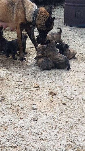 כלבים רועה בלגי טבריה והצפון