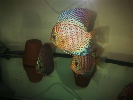 דיסקוס דגים - ציקלידים