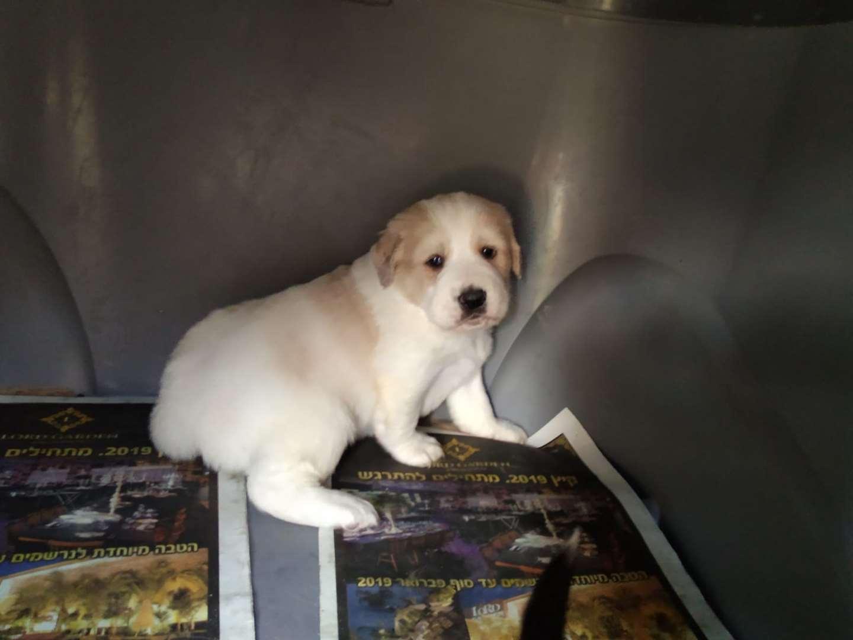 רק החוצה גולדן רטריבר | כלבים | חיות מחמד הומלס AJ-47