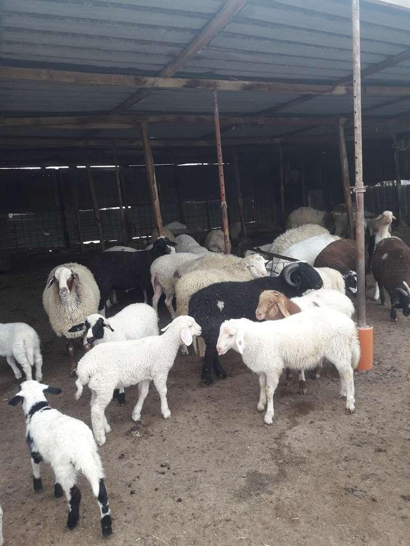 חיות משק - כבשים