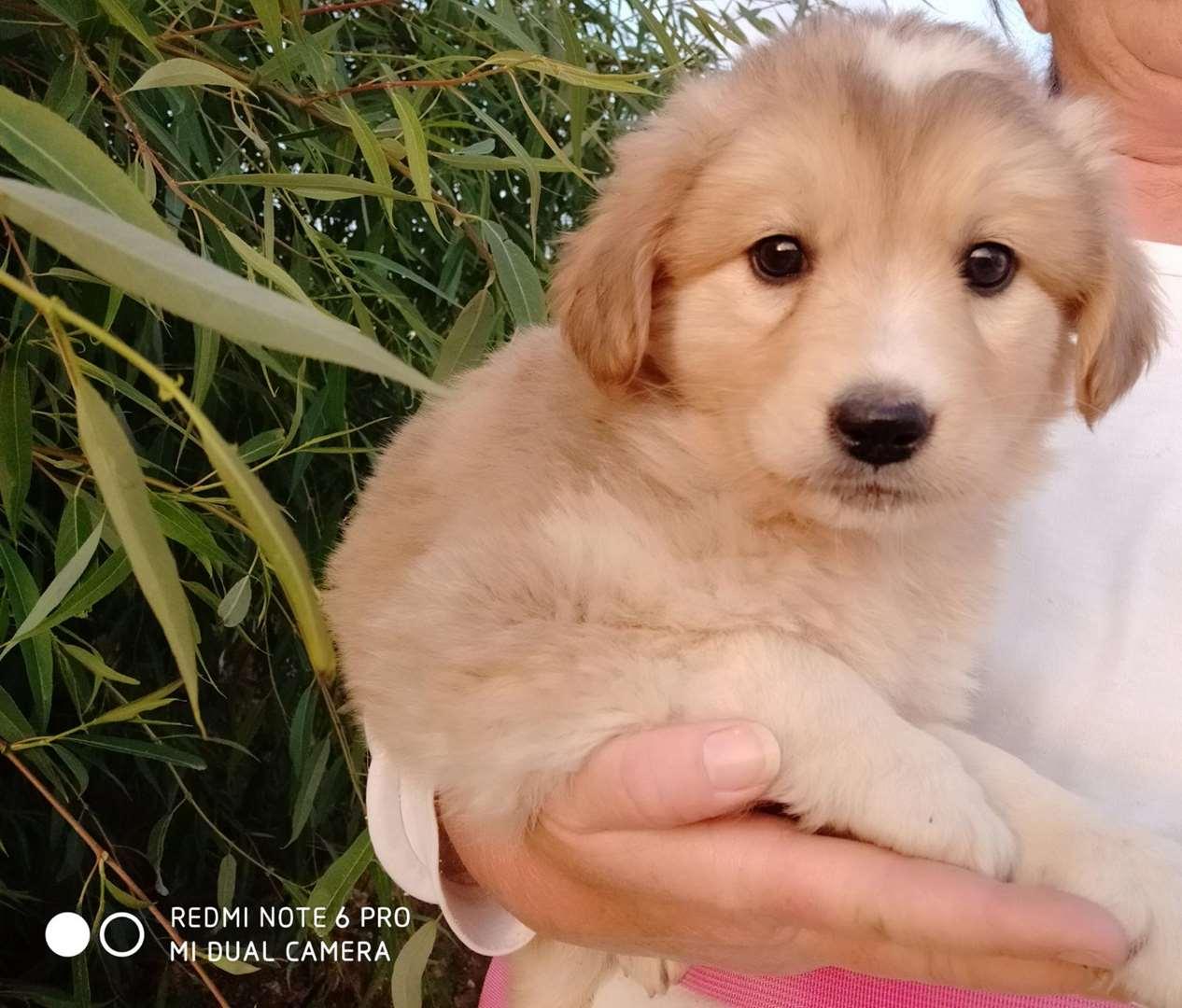 כלבים - פירינאי