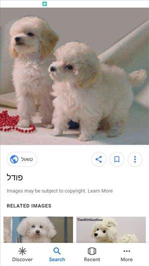 כלבים פודל טבריה והצפון