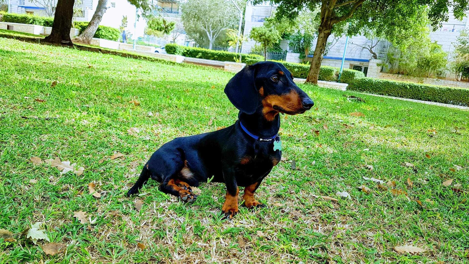 כלבים - דקל (תחש)