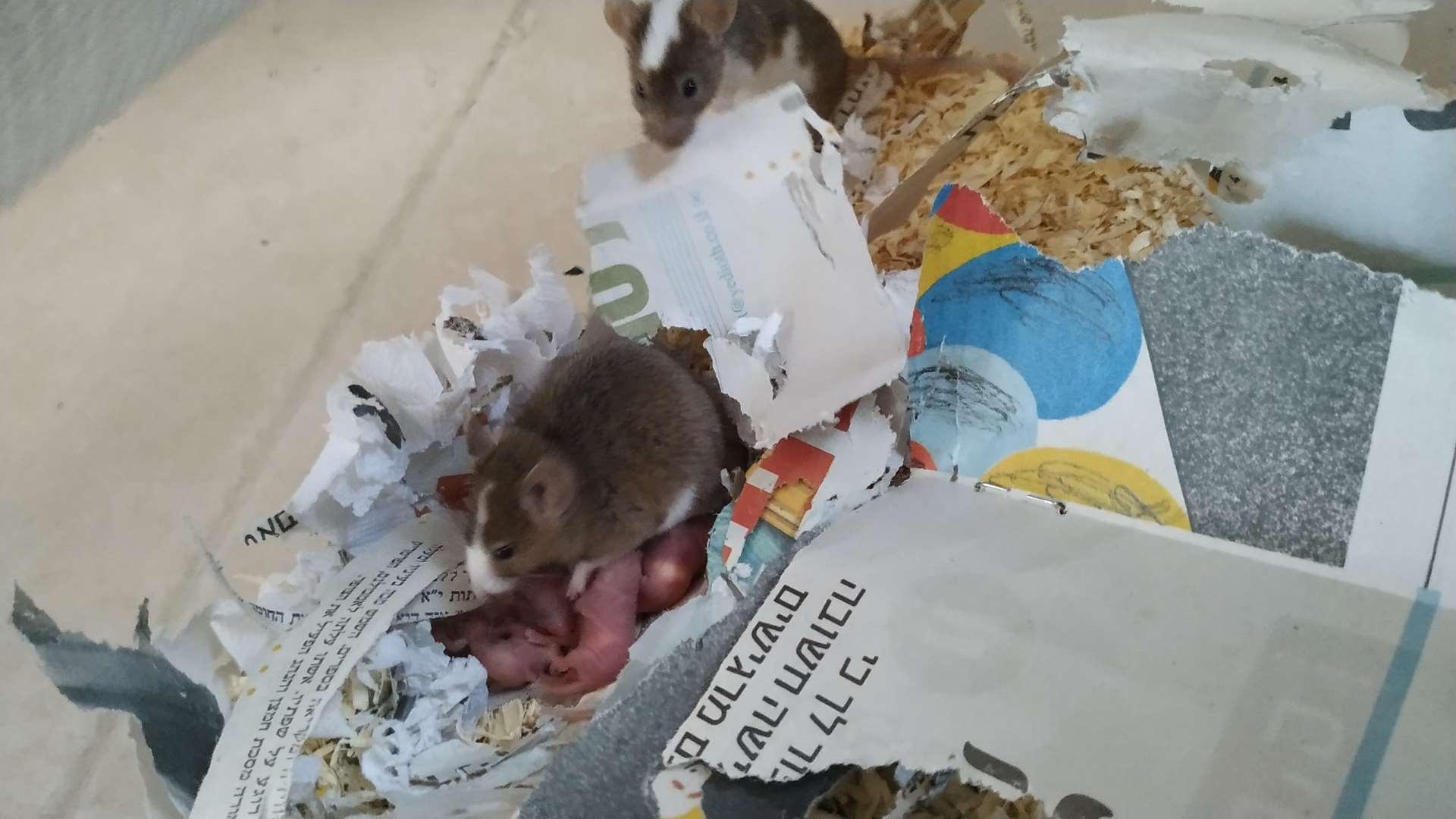 מכרסמים - עכברים