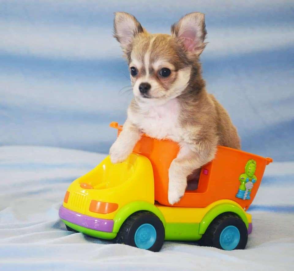 תמונה 2 ,כלבים צ`יוואווה   ז'נטה למכירה בראשון לציון